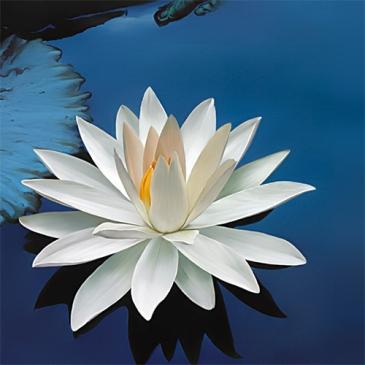 lotusSquare
